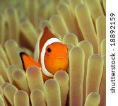 Anemone And Nemofish Close Up....