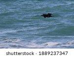 Cormorant Flies Over The Black...