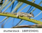 An Indian Palm Squirrel Or...