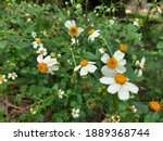 White Grass Flowers Beside The...