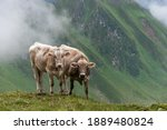 Two Alpine Cows Looking...
