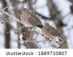 Couple Of Mourning Doves During ...