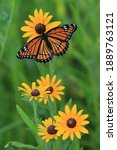 Small photo of viceroy butterfly limenitis achippus butterfly on black eyed susan native prairie plant