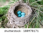 American Robin Nest In A Pine...
