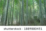 Light Green Bamboo Forest In...