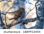 Northern Pygmy Owl (Glaucidium californicum) perched on a tree branch in a forest wildlife background. Owl hunting at sunset