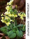 Yellow Cowslips Or Primrose In...