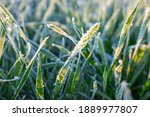 Winter crops  wheat damaged by...