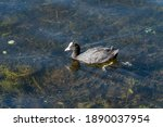 Coot A Black Duck With A White...
