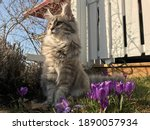 Maine Coon And Purple Crocus In ...
