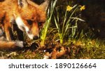 Beautiful Fox On A Background...