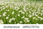Meadow With White Dandelions....