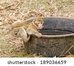 Young Barbary Macaque In Open...