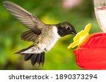 Black Chinned Hummingbird...