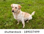 labrador retriever dog in... | Shutterstock . vector #189037499