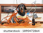 Naughty Dachshund Was Left At...
