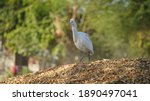 The Great Egret  Also Known As...