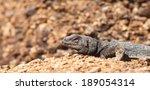 a chuckwalla lizard suns itself ... | Shutterstock . vector #189054314