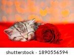 A Small Tabby Kitten Sleeps On...