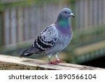 Racing Pigeon  Columba Livia...