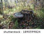 Tinder Fungus Flat  Ganoderma...