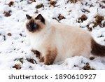 A Seal Point Birman Cat  4 Year ...