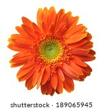 Orange Gerbera Isolated On...