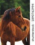 Brown Spanish Horse Stallion...