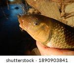 Close up Macro of a Creek Chub or Fallfish