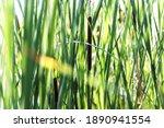 Growing Near Lake Wild Typha As ...
