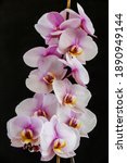 Small photo of Beautiful tropical orchid flowers.Purple Orchids Vanda in the orchids Farm.isolated on a black background. Space for text