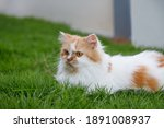 the cute persian cat is sitting ...   Shutterstock . vector #1891008937