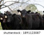 Group Of Black Angus Calves...