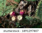 prickly pear cactus with fruit  ... | Shutterstock . vector #1891297807