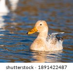 Male Female Manky Mallard Duck...