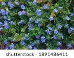 Small photo of Dwarf morning glory (Evolvulus glomeratus). Called Blue daze, Brazilian Dwarf Morning glory also