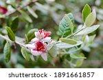 Feijoa Tree Flower  Acca...