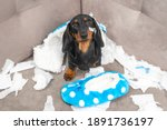 Small photo of Mess dachshund puppy was left at home alone and started making a mess. Pet tore up furniture and chews home slipper of owner. Baby dog is sitting in the middle of chaos and looks up piteously.
