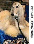 White Afghan Hound - stock photo