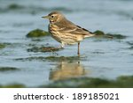Small photo of American Pipit running along the shoreline.