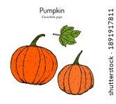 pumpkin cucurbita pepo  edible... | Shutterstock .eps vector #1891917811