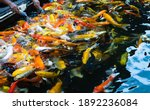 Colorful Koi Carp Fish Swimming ...