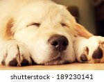Cute Golden Retriever Puppy...