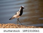 A Blacksmith Lapwing Seen On A...