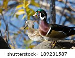 Pair Of Wood Ducks Looking Out...