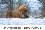 European Bison Resting On A...