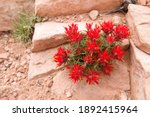Indian Paintbrush Red Flower ...