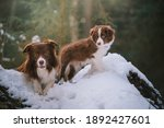 Two border collie dogs adult...