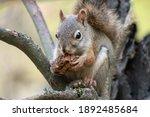 Eastern Grey Squirrel Sits Atop ...