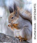 The Squirrel With Nut Sits On...